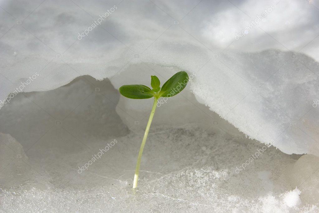 попадете фото снег на зеленый росток покрасневшие участки