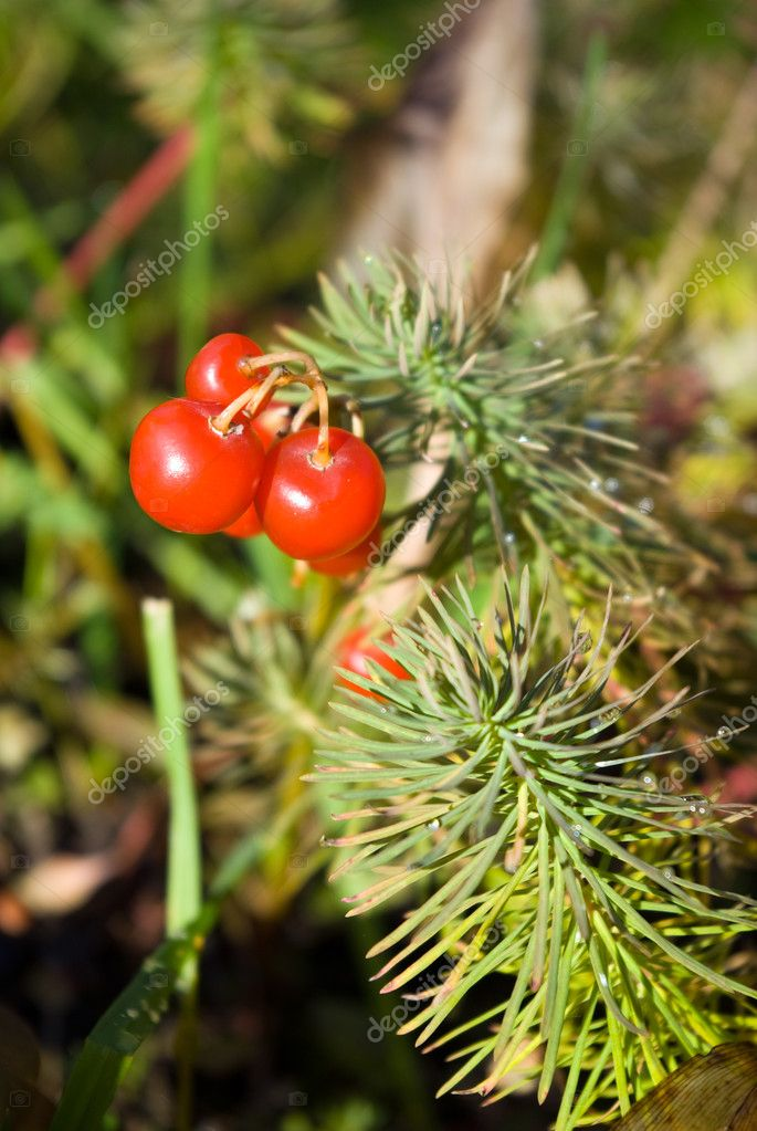 Lily of the Valley berries and cypress s
