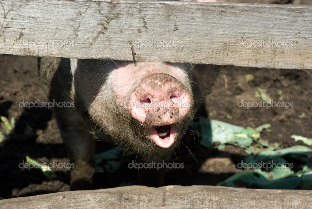 Domestic pig snout