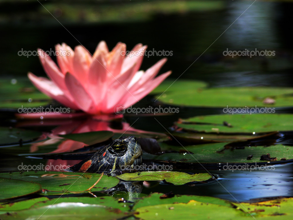 Turtle and Waterlily 1