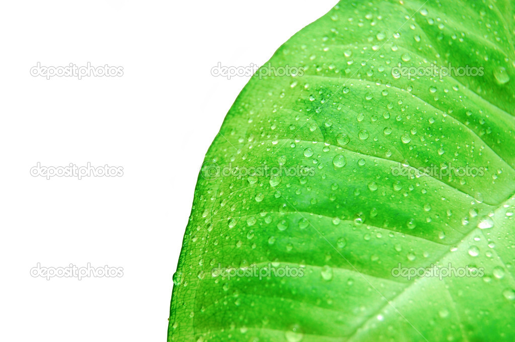 Water drops on fresh green leaves.