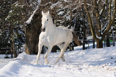 White horse is running in forest