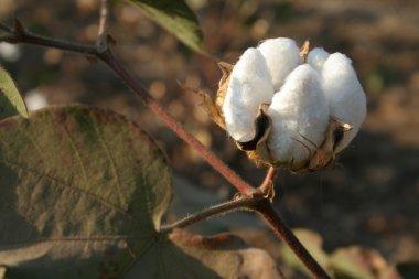 Cotton boll closeup