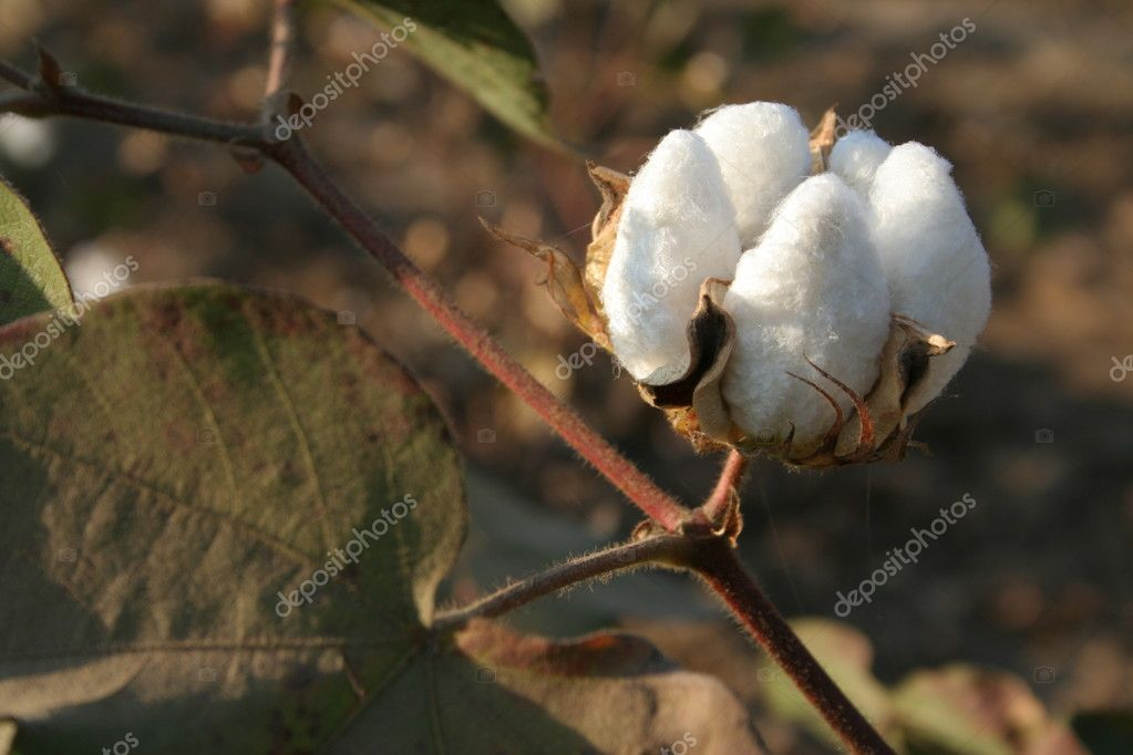 Cotton boll closeup