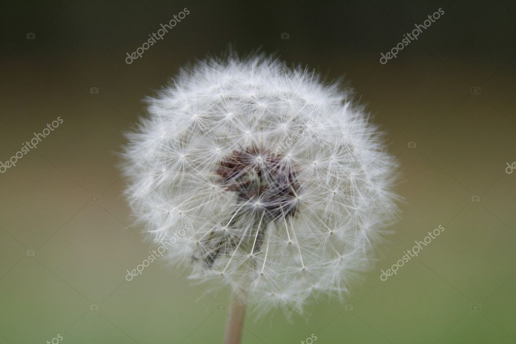 White dandelion in detailed view