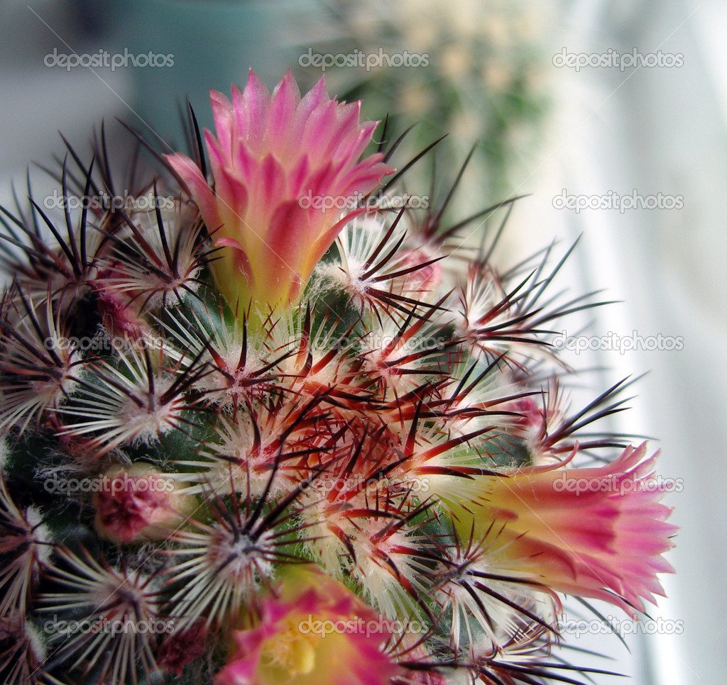 Cactus With Pink Flowers Stock Photo Troyka 1421105