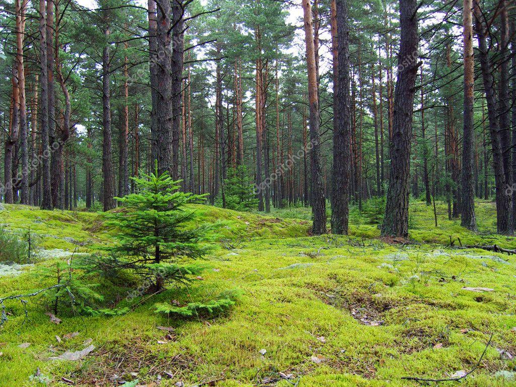 Фотообои Молодые ели в сосновом лесу.