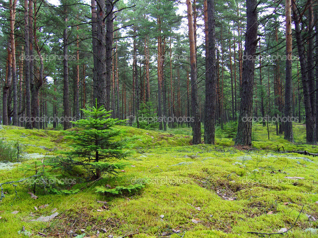 Фотообои Young firs in pine forest.