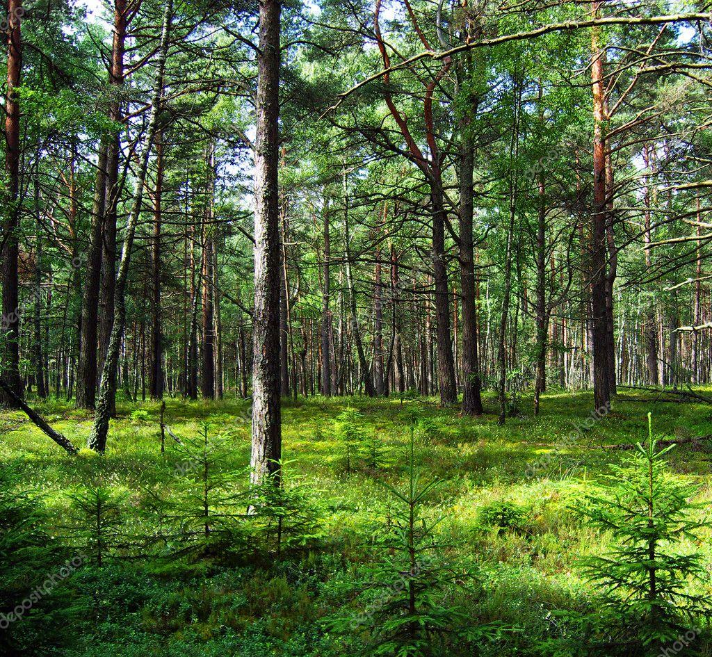 Фотообои Сосновый лес.
