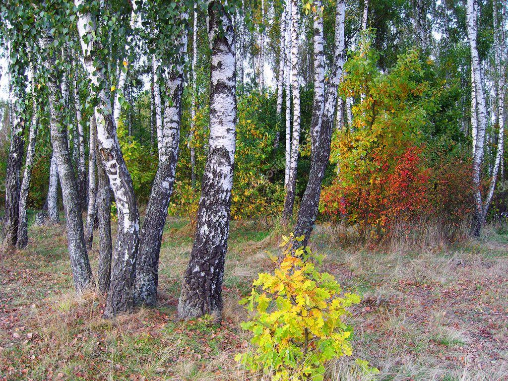 Birch grove in autumn.