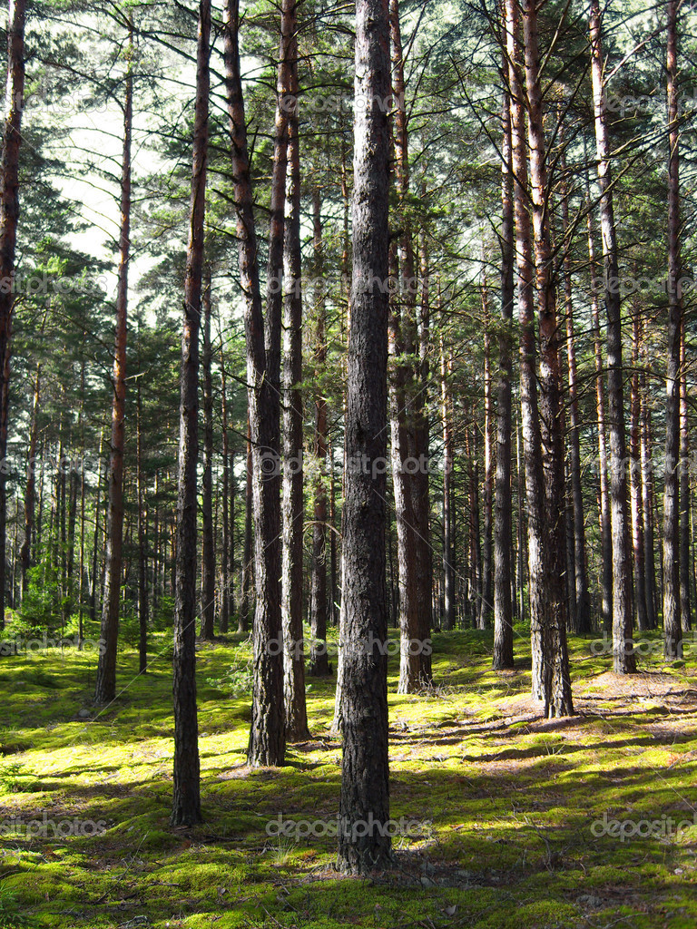 Pine forest.