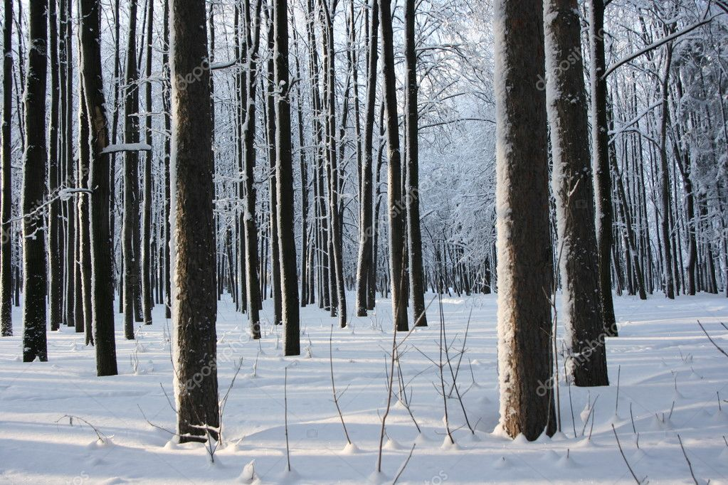 Magical winter woods covered with fresh