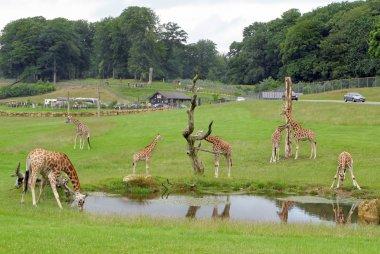 Giraffes Safari Park