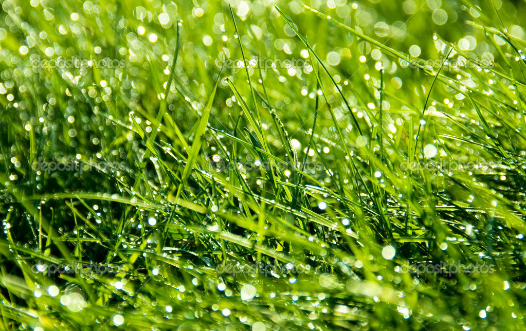 Thick grass with dew