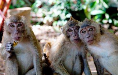 Portrait of three monkeys