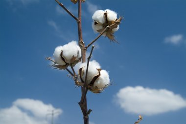 Cotton branch