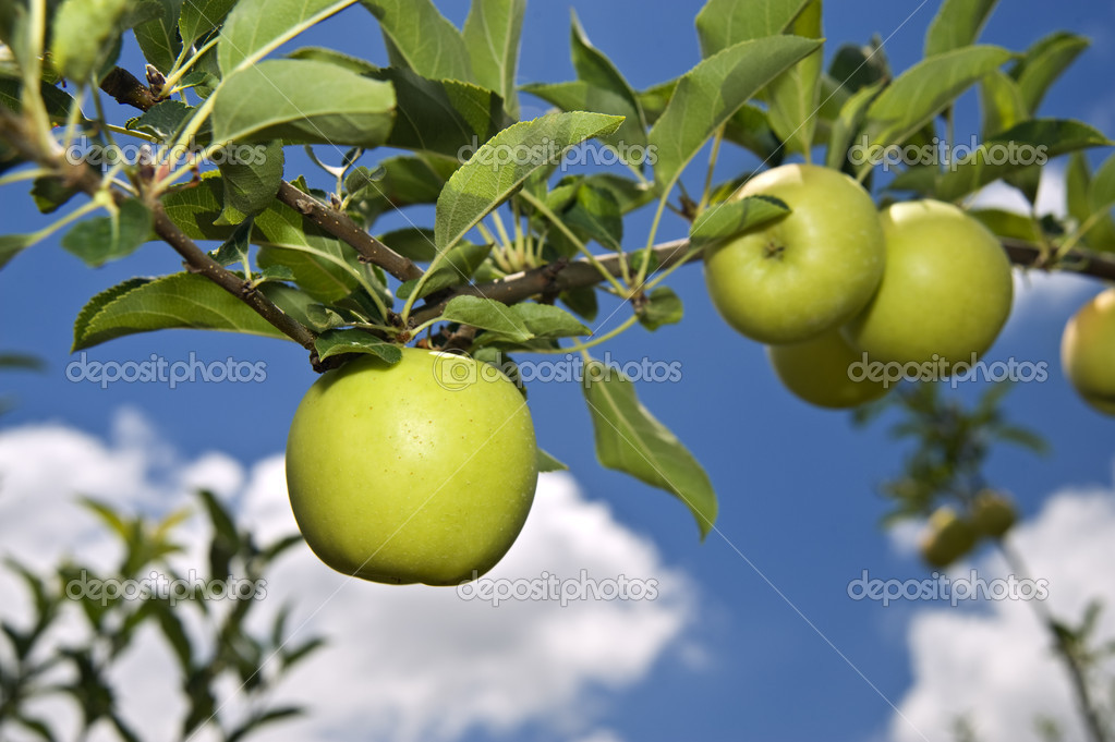 Green apple on branch