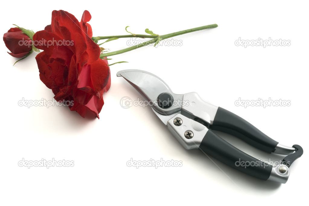 Pruning shears and red rose