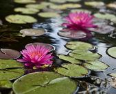 Fotografia acqua lillies