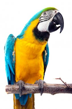 Parrot - Macaw