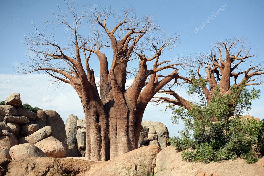 Baobab trees in biopark in Valencia
