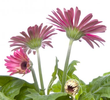Gerbera Daisy Buds and Open Flowers