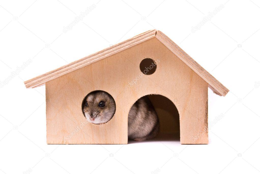 Dwarf hamster in house