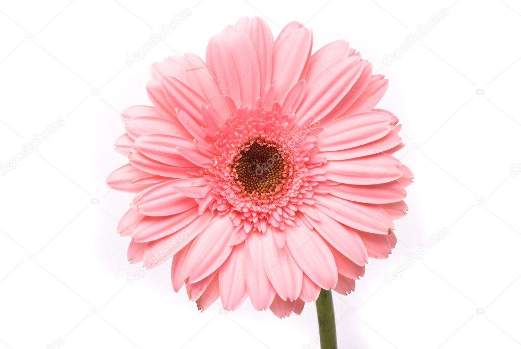 Pink gerbera flower on white background
