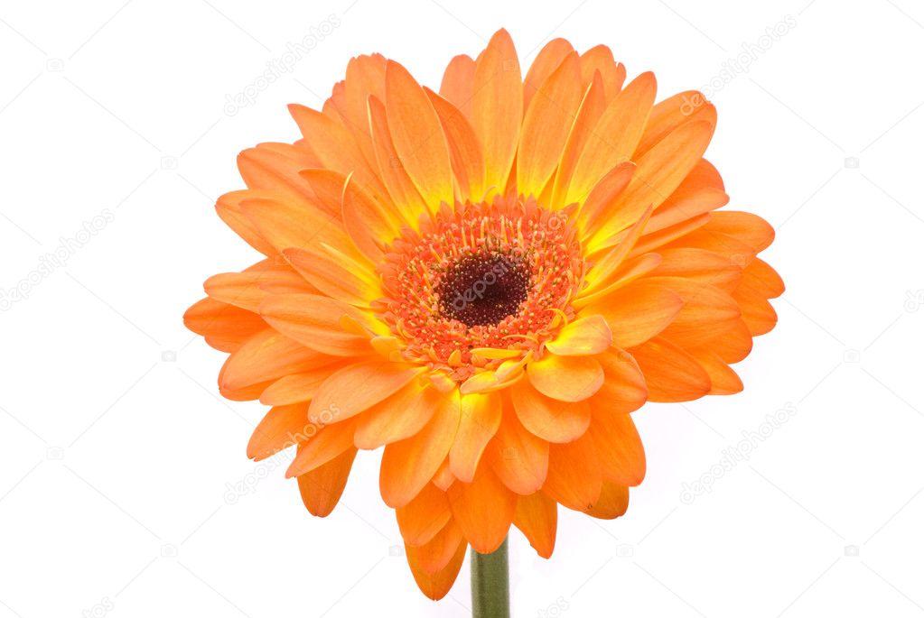 Orange gerber flower on white background