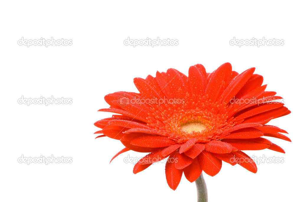 Red gerber flower with water drops