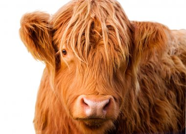 Wild red-haired calf of Highland