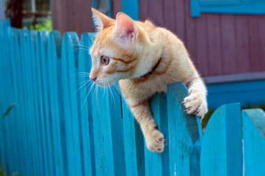 Red cat on a fencing
