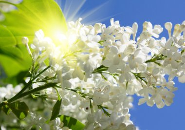 Branch of lilac flowers in sunny day