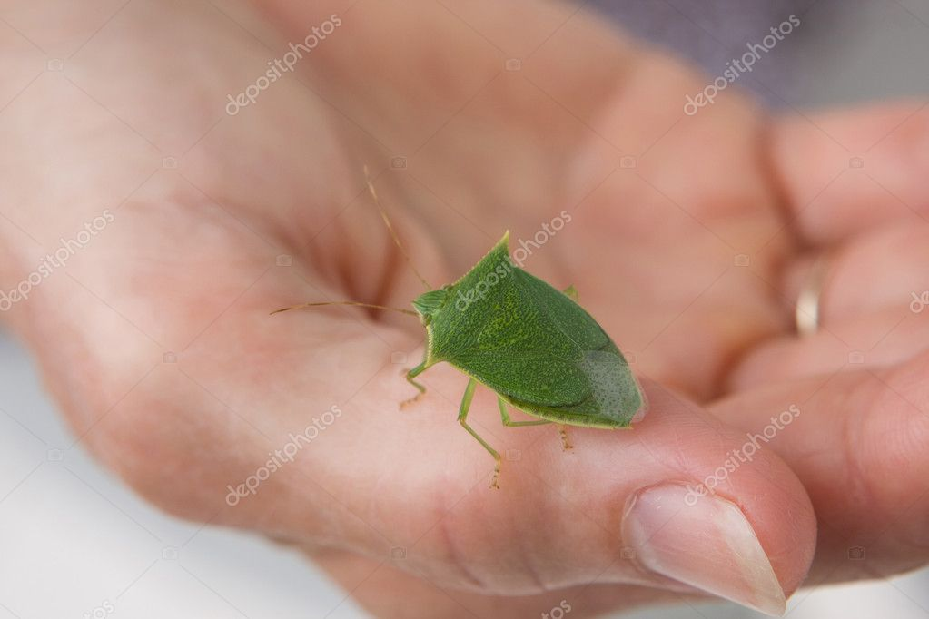 Spined Green Stink Bug