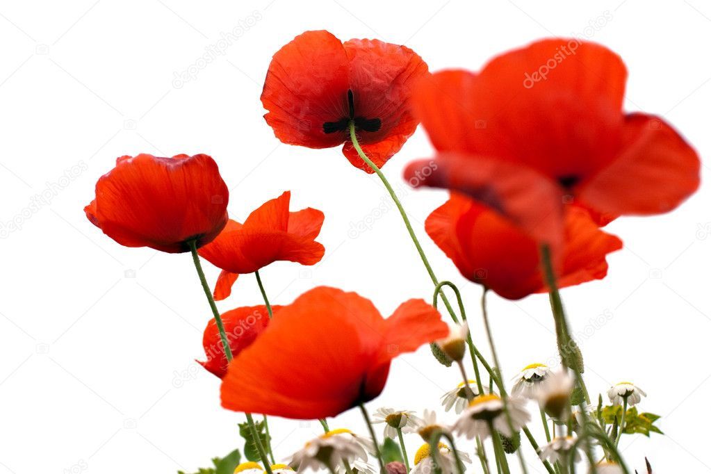 Poppy in spring with white background