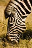 Fényképek legeltetés zebra