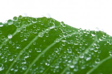 Macro of fresh leaf with water drops