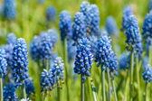 Modré květy v poli