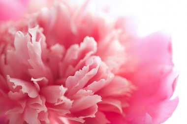 Abstract pink peony flower isolated