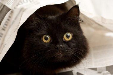 Cute black cat under newspaper