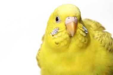 Yellow budgerigar