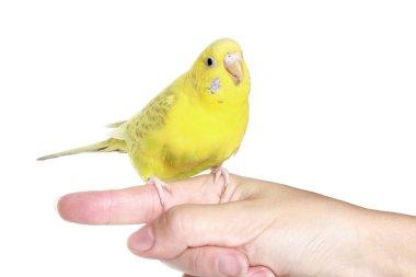 Yellow budgerigar on finger