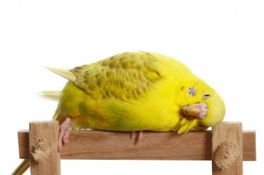 Yellow budgerigar on a branch