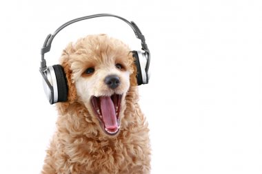 Poodle puppy listening to music