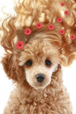 Apricot poodle puppy with long hair