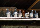 Fotografie Pigeons