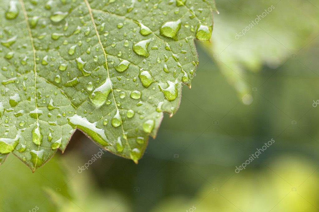 Leaf of grape with drops
