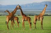 Fotografia giraffe