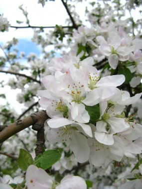 Spring flowering of fruit trees