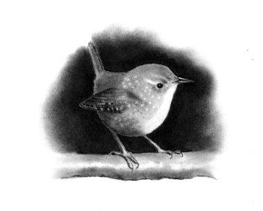 Pencil Drawing of Little Wren